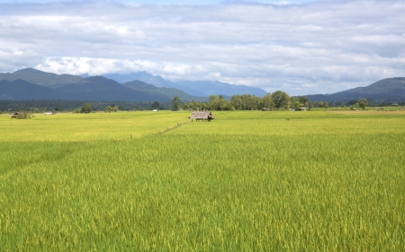 Paddy field of yellow rice harvest season. photo