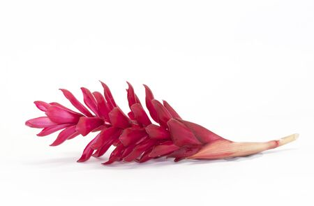 Red Ginger flower isolated on white 写真素材