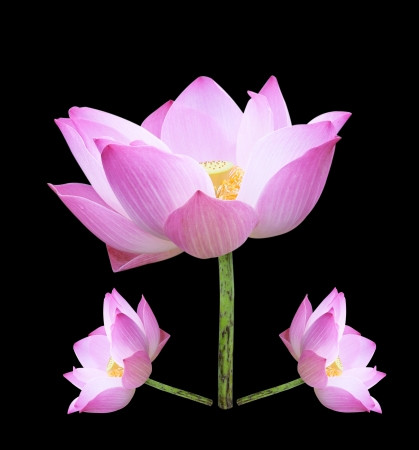 Single lotus flower isolated on black background photo