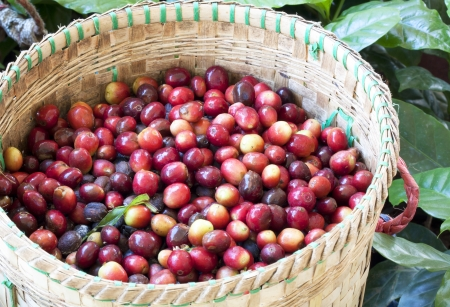 harvest: Coffee beans ripening on tree in North of thailand Stock Photo