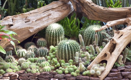 Cactus flower plant in the garden naturally. photo