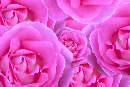 Background image of pink roses abstract surface.