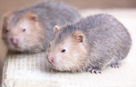 embryonic: Wildlife species clan rat embryonic mammalian milk. Stock Photo