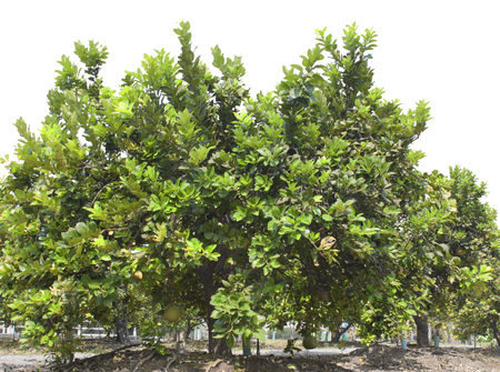 Pomelo fruit tree in the garden green. photo