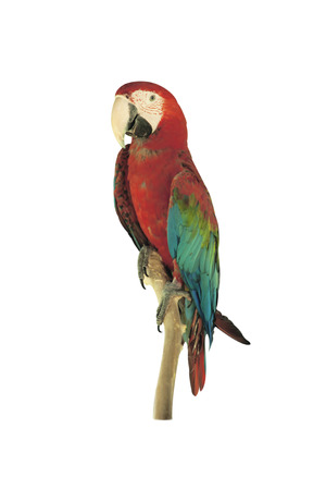 ararauna: Beautiful Pet Parrot isolated on white background. Stock Photo
