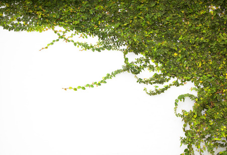 ivy wall: The Green Creeper Plant on the Wall