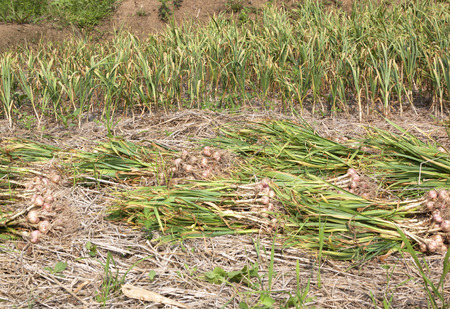 Garlic harvester garlic farmers fields vegetable cooking. photo