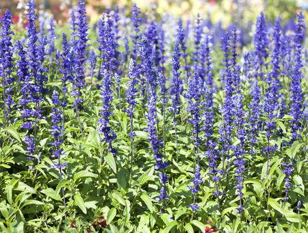 Blue salvia purple flowers, ornamental plants spring. photo