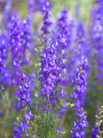 Fleurs pourpres de Hyssopus officinalis (hysope) près. Banque d'images - 30354669