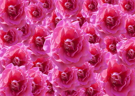 Pink roses background represents the abstract nature of love. Stock Photo