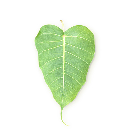 peepal tree: Bodhi leaf green leaf isolated on white background. Stock Photo