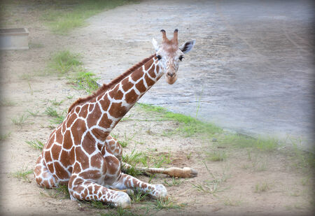 chiang mai: giraffe in the zoo