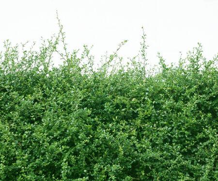 shrubbery small tree lush green nature ornamental.