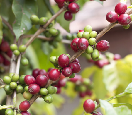 Coffee beans ripening on tree in North of thailand Stock Photo