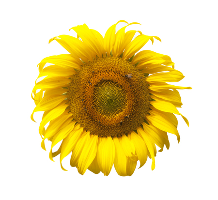 yellow blossom: Sunflower yellow blossom isolated on white background.