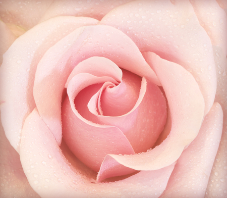 Background of pink roses represent love, I love you. Stock Photo