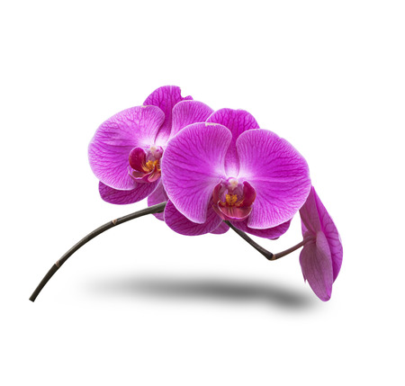 Purple Orchid flowers isolated on white background.