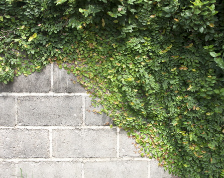 ornamental plant: The Green Creeper Plant on the Wall