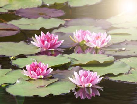 nenuphar: Beautiful Nature lotus flower background in Thailand. Stock Photo