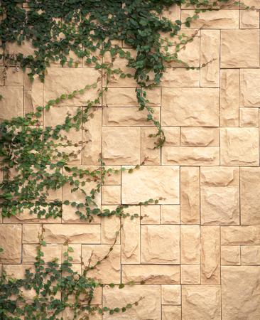 creeping fig: Brown stone wall green creeper plants flower.