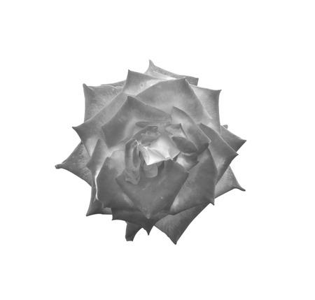 rosas negras: Negro rosas flor aislada en el fondo blanco. Foto de archivo