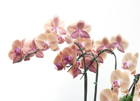 flor morada: Flores de la orqu�dea natural aisladas sobre fondo blanco. Foto de archivo