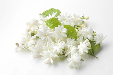 Jasmine flowers fresh isolated on white background.