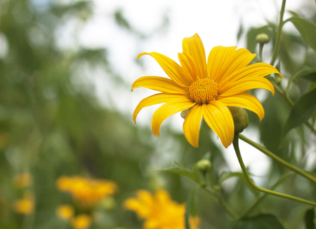 asteraceae: Yellow Tithonia diversifolia flowers field in Thailand tropical forest. The plant is a species of flowering plant in the Asteraceae family. Stock Photo