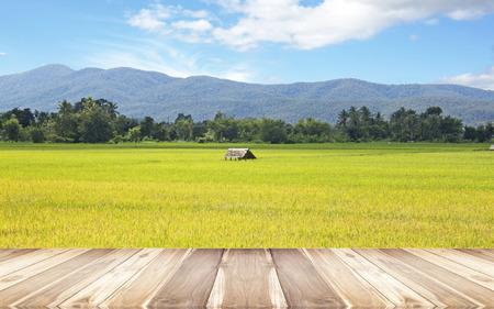 rice harvest: Paddy field of yellow rice harvest season. Stock Photo