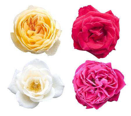 Rosa fiori rosa isolato su sfondo bianco.