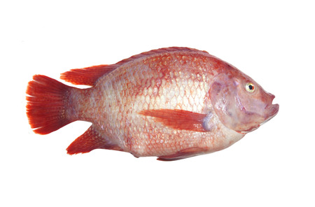 oreochromis: Fresh fish isolated on the white background. Stock Photo