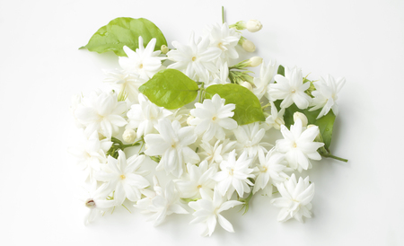 redolence: Natural jasmine flowers on a white background. Stock Photo