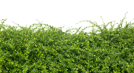 Green hedges tree Isolated on white background