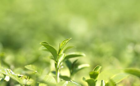 Green tea bud and fresh leaves Nature background
