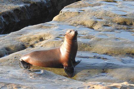 Young California sea lion, coastal wildlife, La Jolla Cove, San Diego, California.