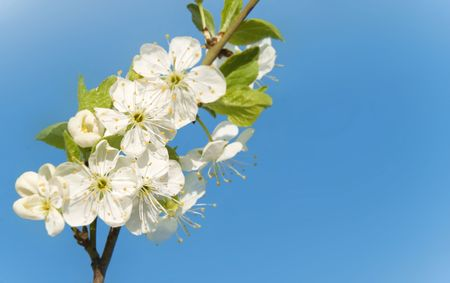 Branch blossoming cherry on blue background photo