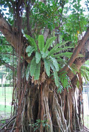 Old Tree in KLCC Park1 Stock Photo