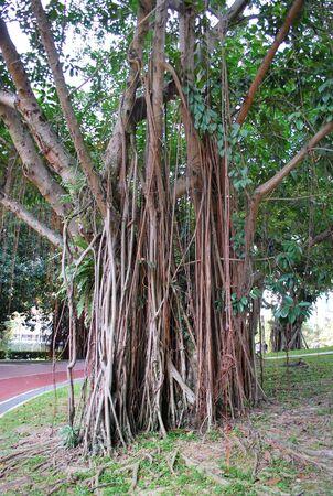 Old Tree in KLCC Park6 Stock Photo - 3643076