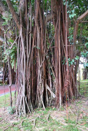 Old Tree in KLCC Park5 Stock Photo - 3643074