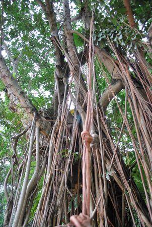 Old Tree in KLCC Park4