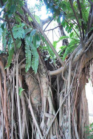 Old Tree in KLCC Park3 Stock Photo