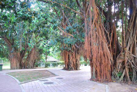 Old Tree in KLCC Park2