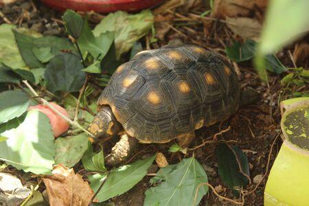 little turtle eating hibiscus leaves