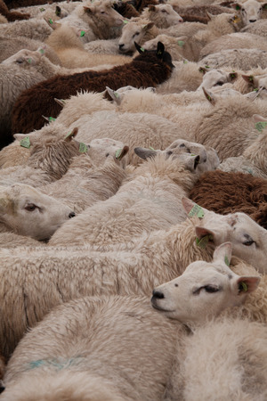 tightly: A flock of sheep tightly packed together
