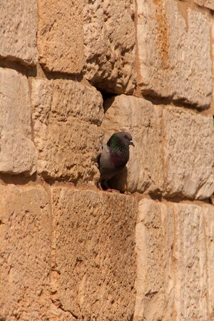 residual: A dove sitting in a crack in the brown sandstone of the Western Wall in Jerusalem.