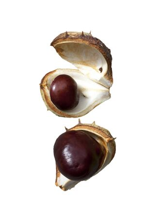 buckeye seed: Split in half prickly fruit of the horse chestnut  Stock Photo