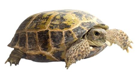 tortoise isolated on white background  photo