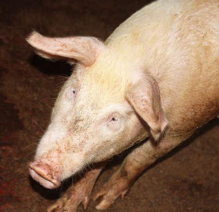 grunter: Curious pig