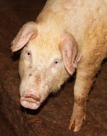 Curious pig Stock Photo - 8934891