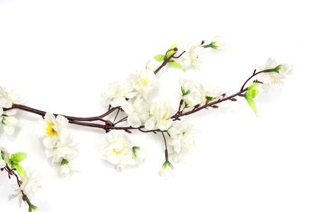 flor de cerezo: Flor de cerezo de primavera sobre el fondo blanco  Foto de archivo